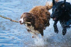 hondengeleider